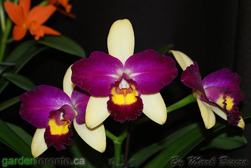 Bi-Colour Cattleya